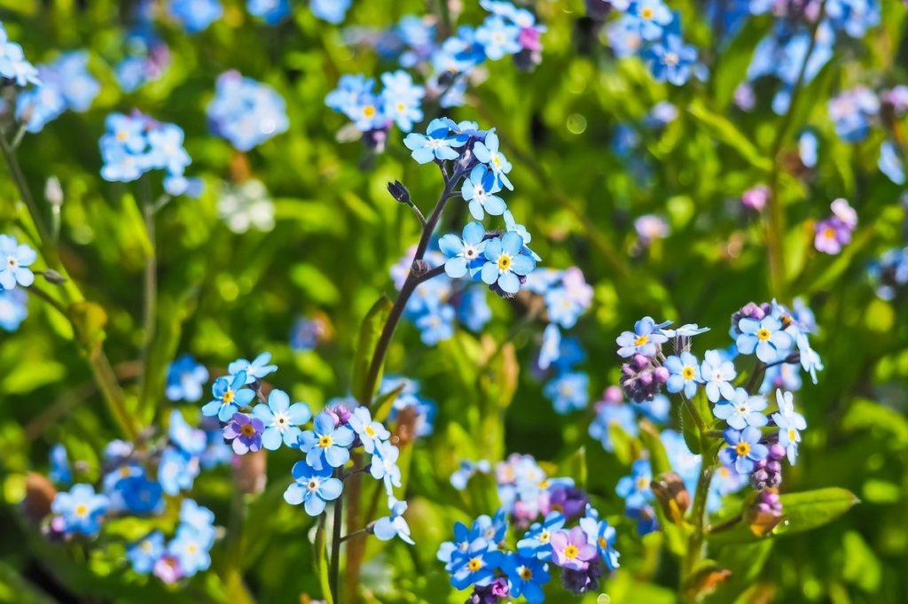Цветы нигеллы дамасской