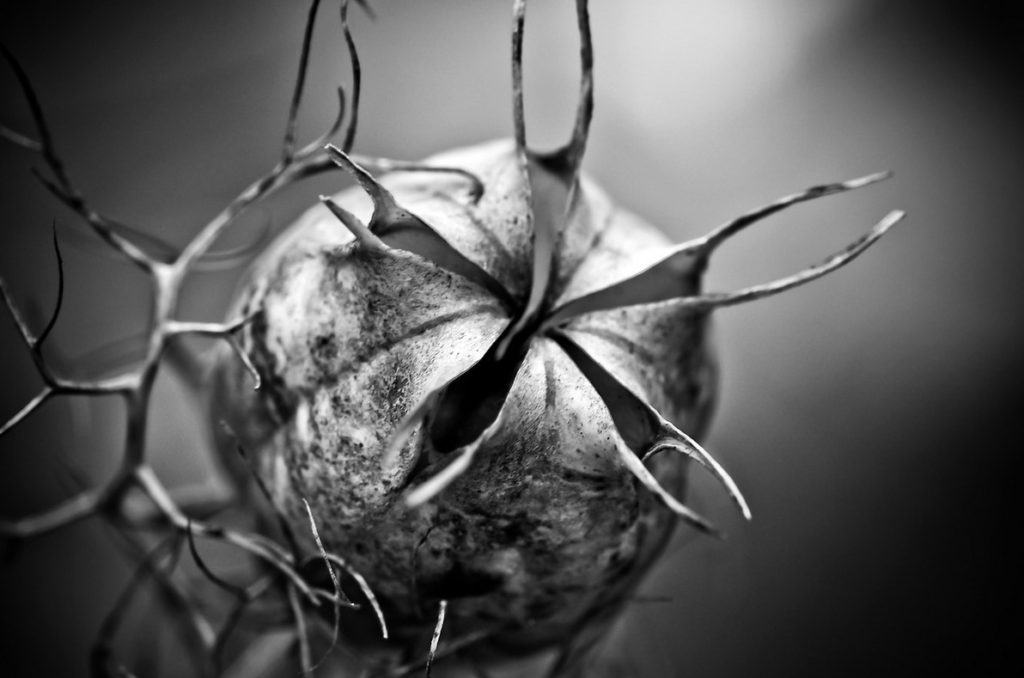 Семенная коробочка черного тмина