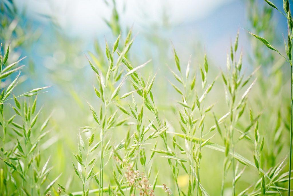 Лакрица растение