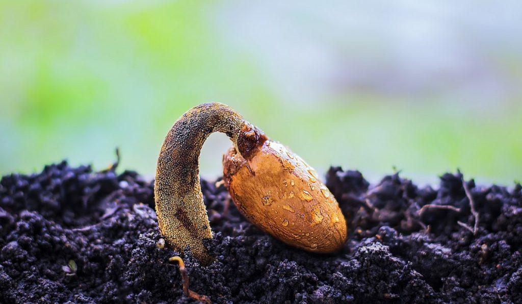 Семя фрукта дуриана