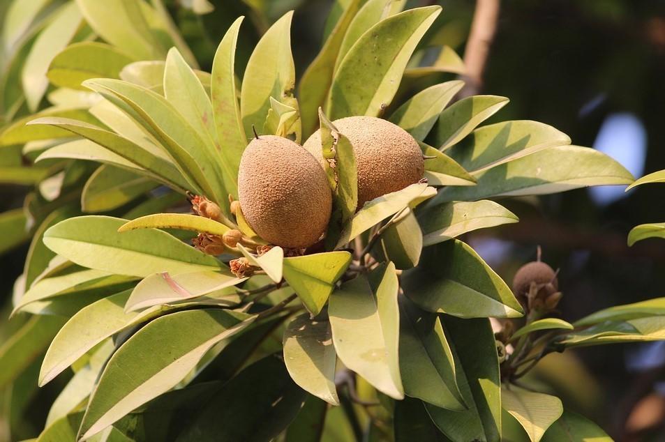 Листья саподиллы