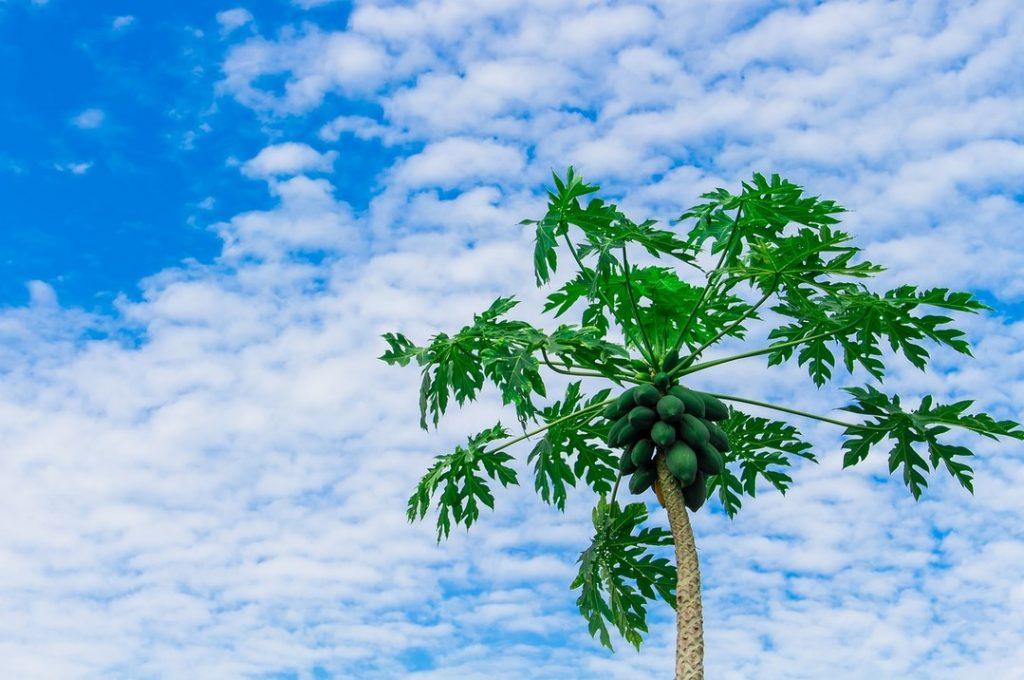 Папайя пальма