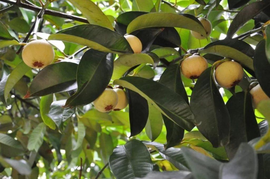 Дерево мангостин