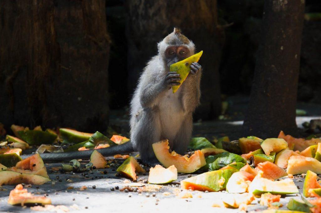 Индия обезьяна кушает папайу
