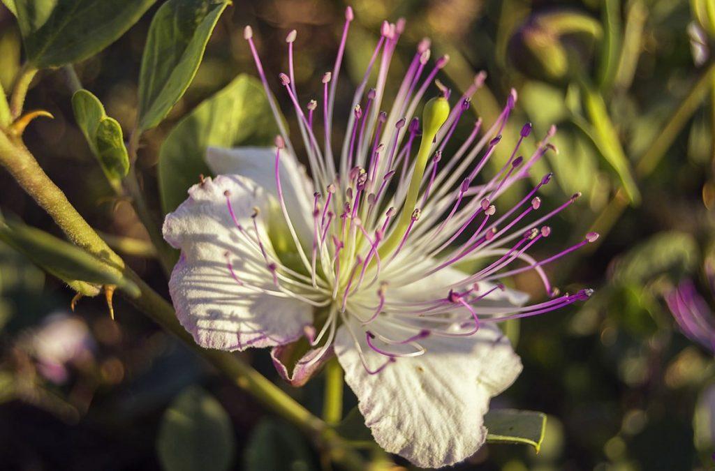 Цветок Alcaparro