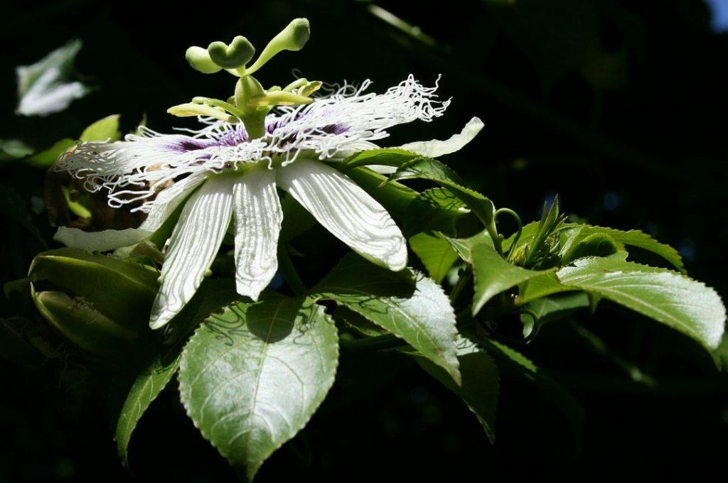 Цветение пассифлоры