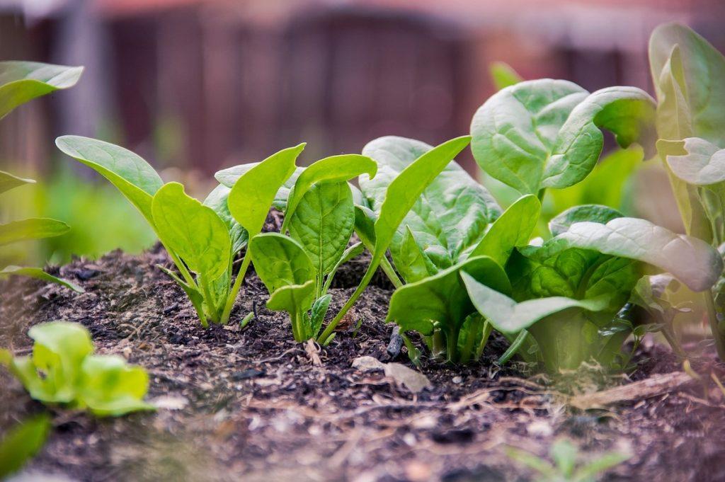 Как растет шпинат