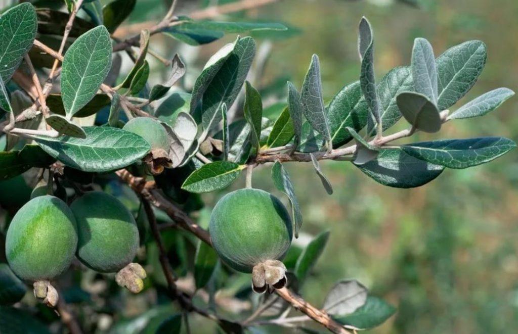 Плоды фейхоа созревают в ноябре