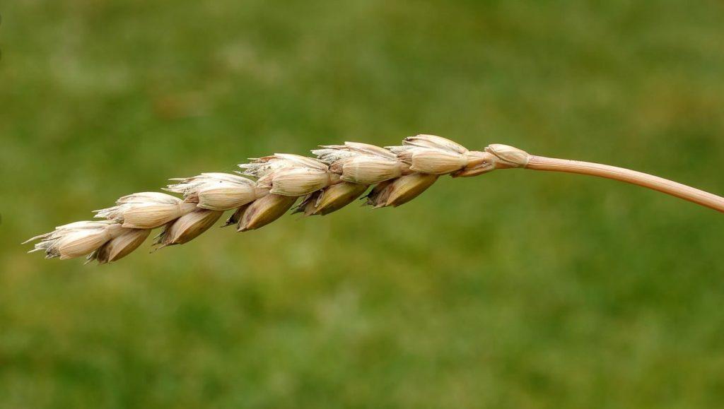 Как растет спельта