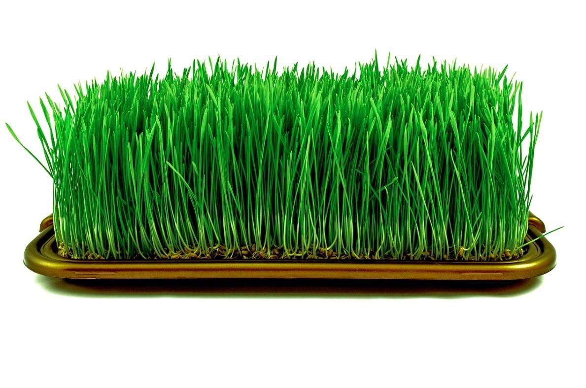 Ростки пшеницы польза и вред