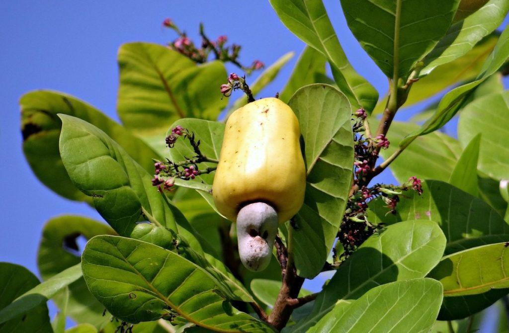 Как растёт орех кешью
