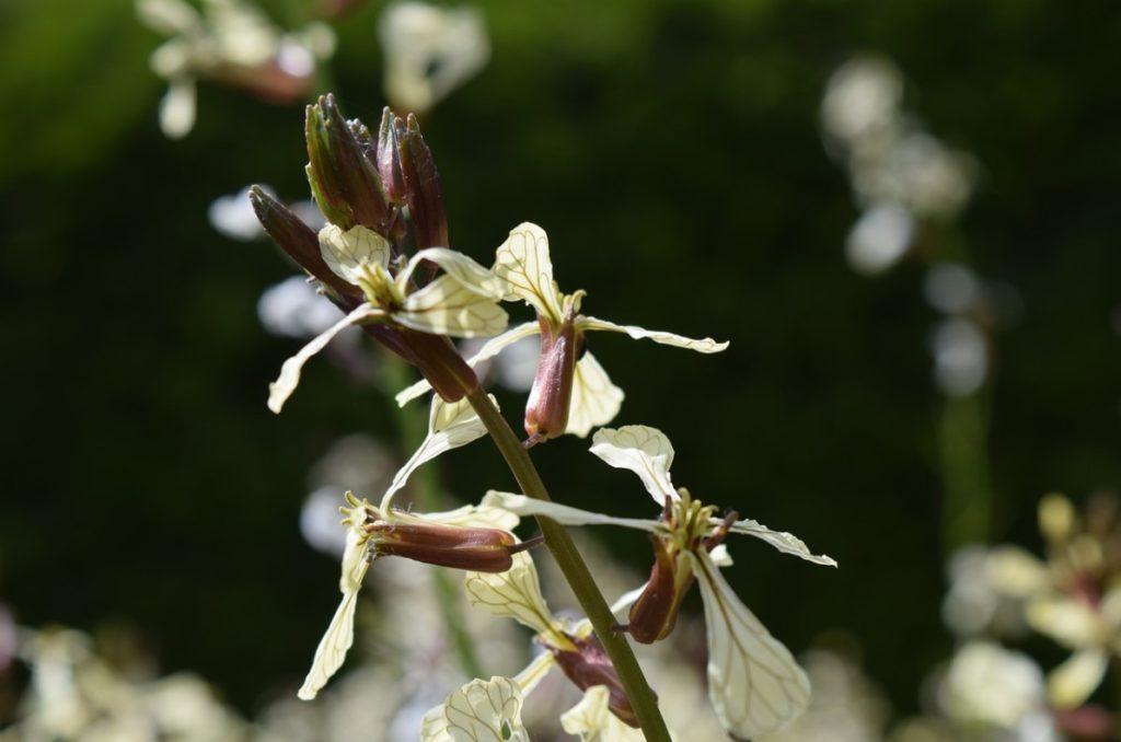 Как цветёт руккола
