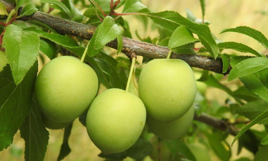 Неспелые плоды алычи