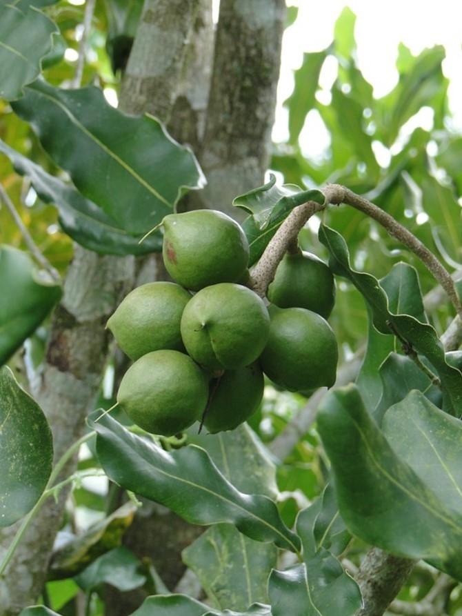 Как растет орех макадамия