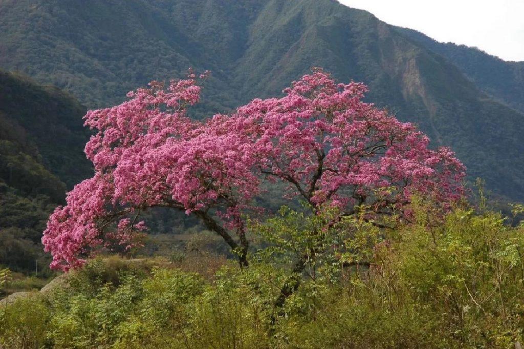 Pau D'arco (Tabebuia avellanedae)