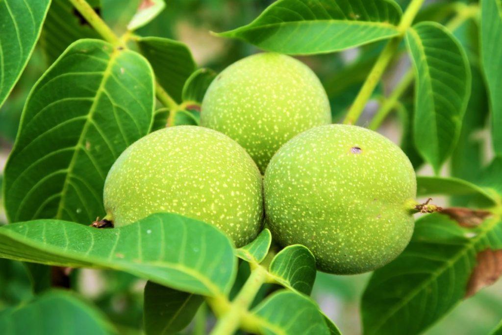 Зелёные плоды грецкого ореха