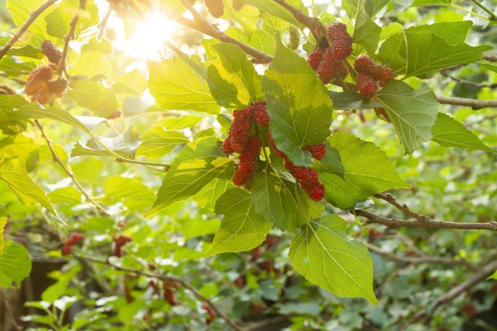 Красная шелковица