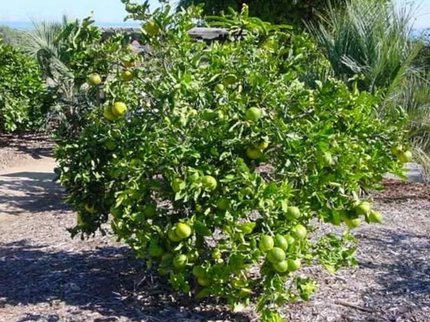 Дерево свити с плодами