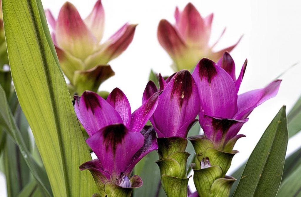 Цветение куркумы