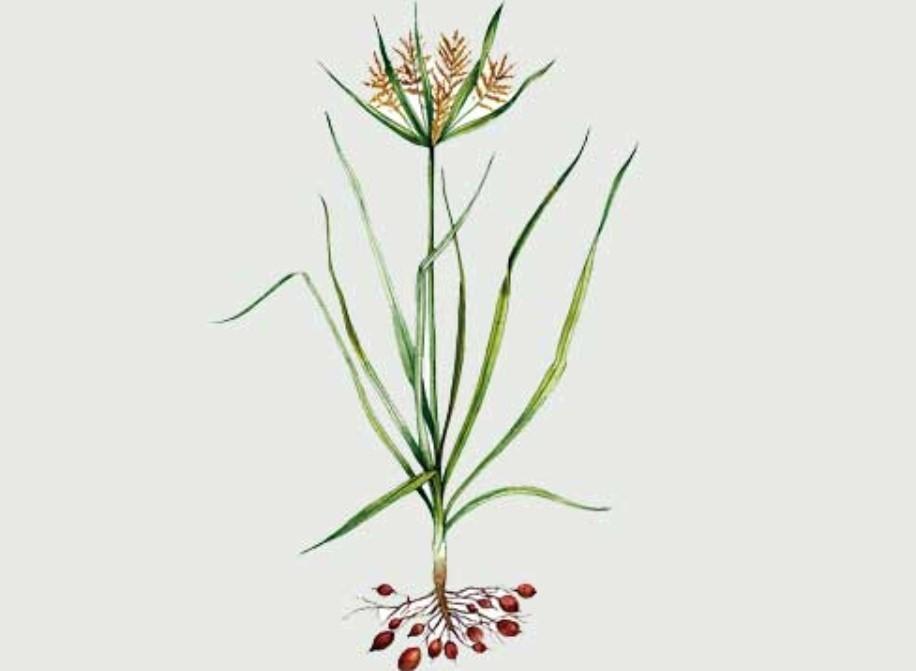 Ботанический справочник - растение чуфа