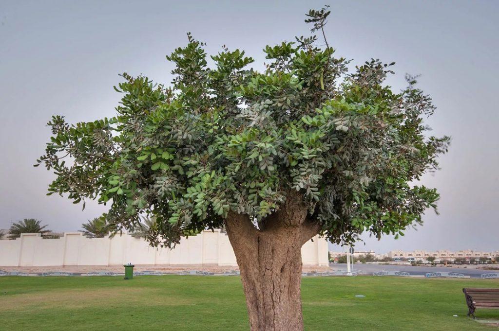 Рожковое дерево (Ceratonia siliqua)