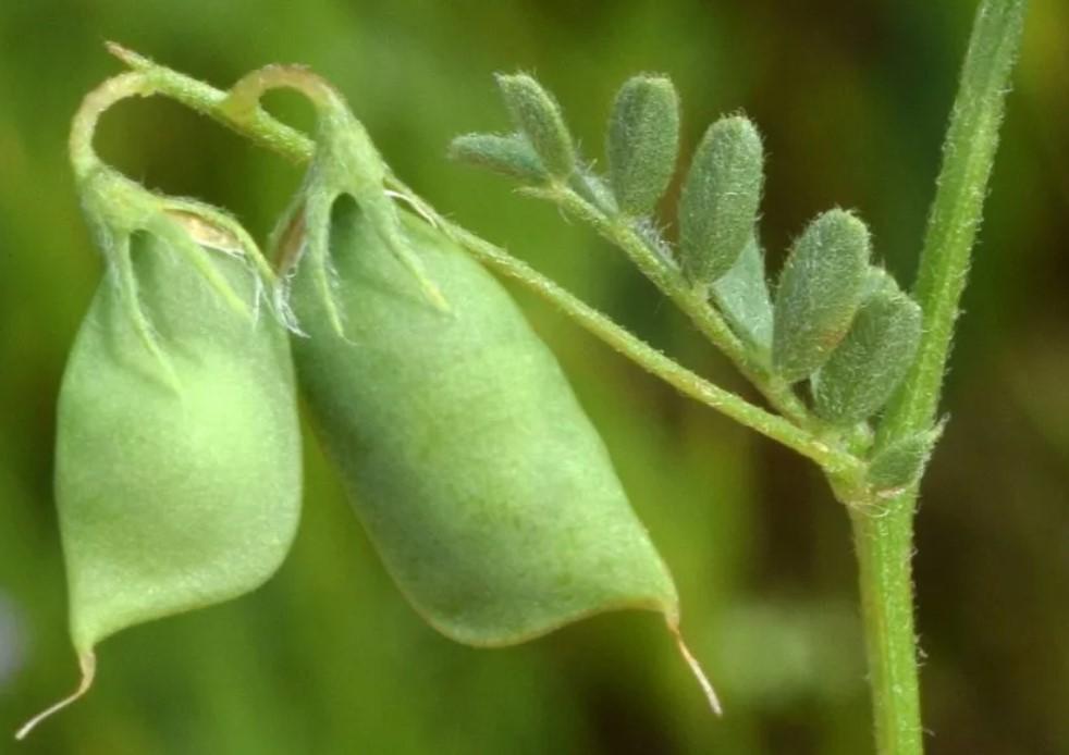 Как растёт чечевица