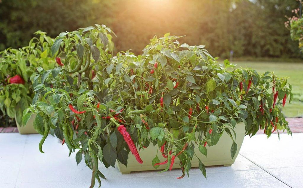 Как растет перец рода Capsicum