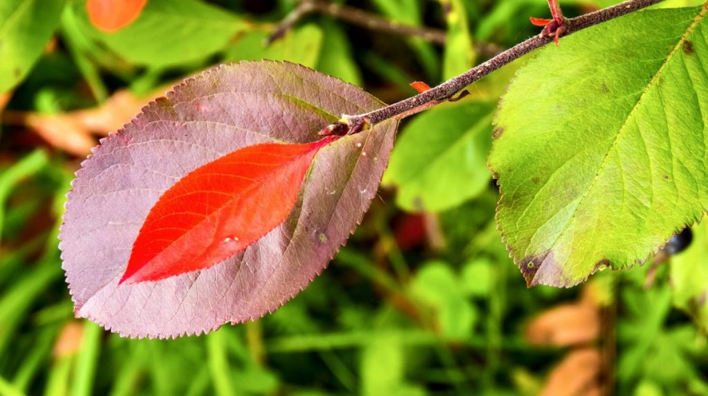 Листья черноплодной рябины