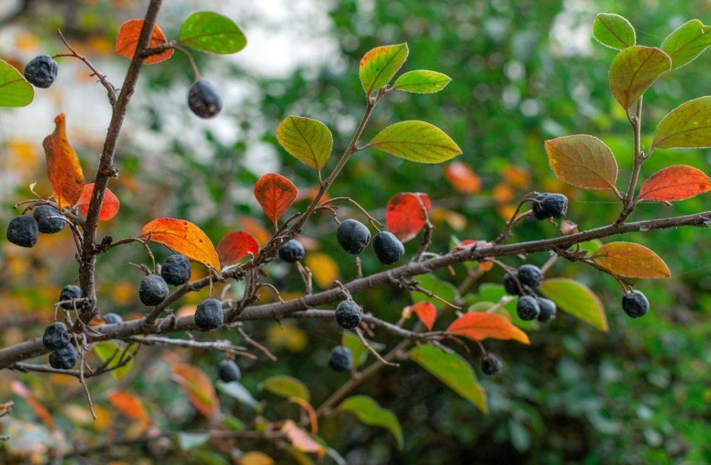 Спелая рябина черноплодная