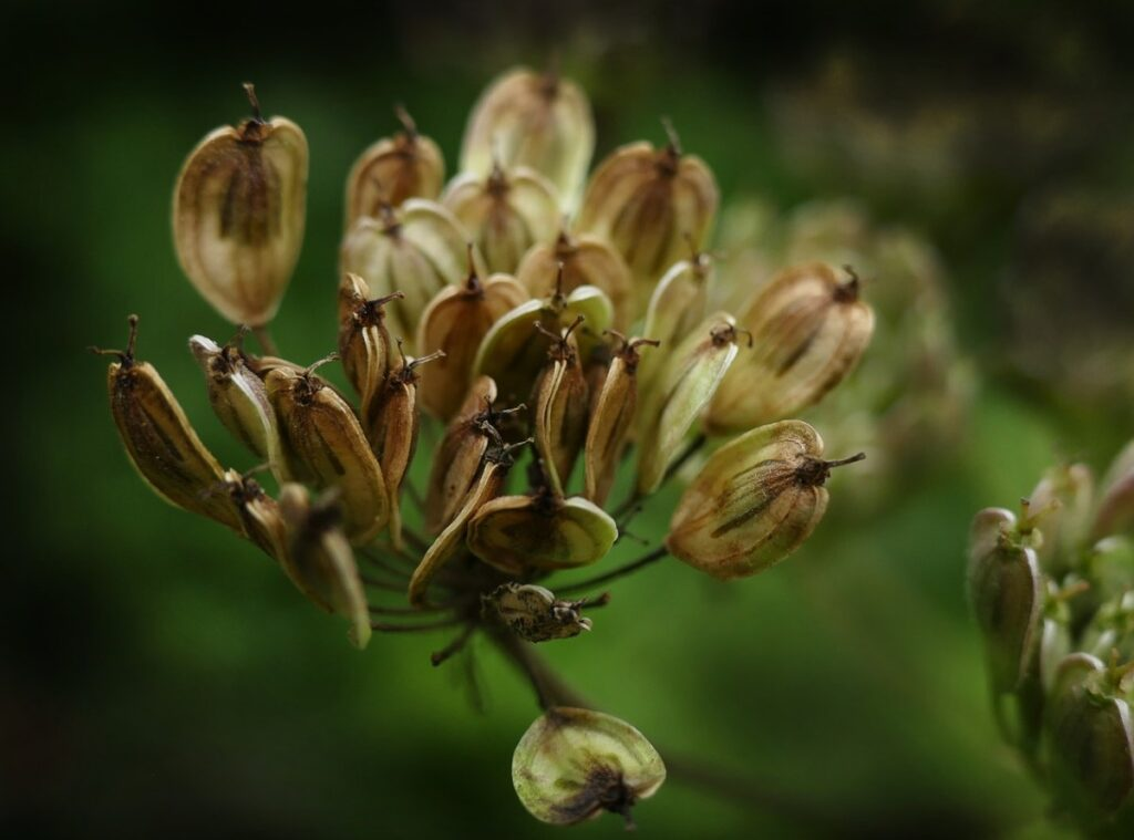 Семена аниса как выбрать
