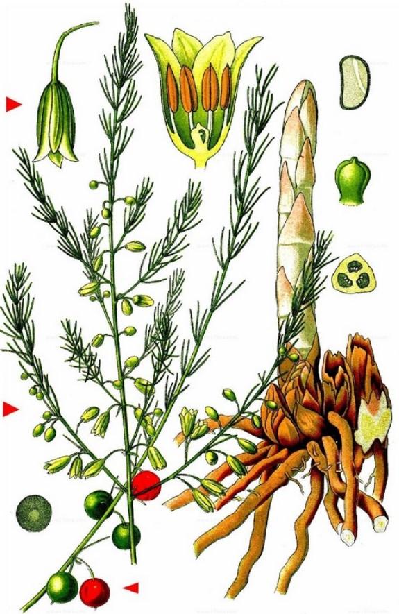 Аспарагус ботанический справочник