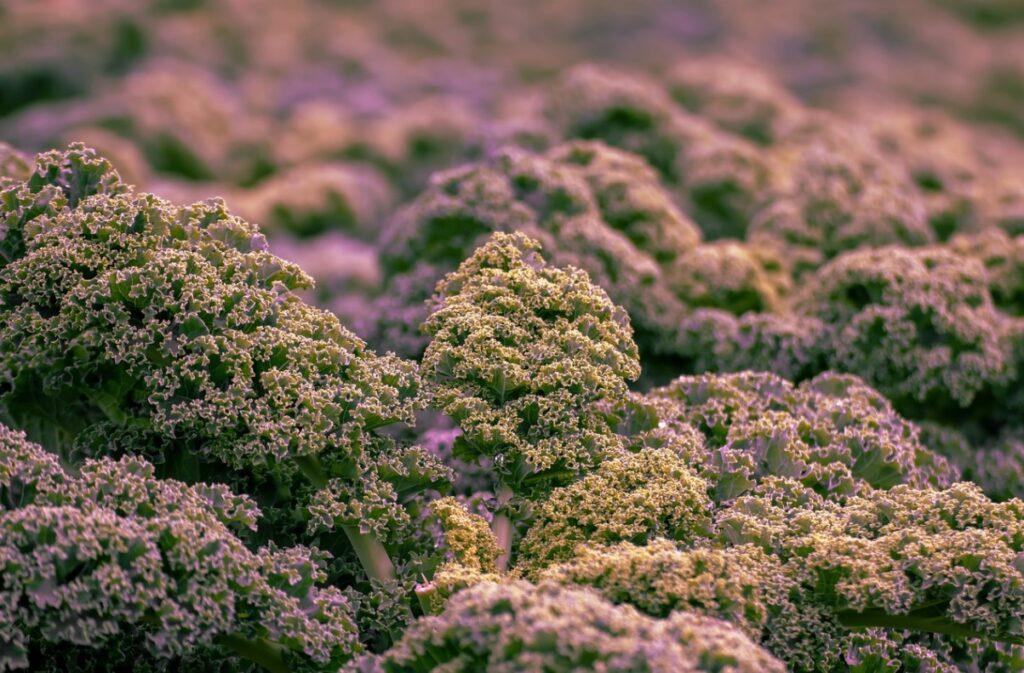 Выращивание капусты кейл
