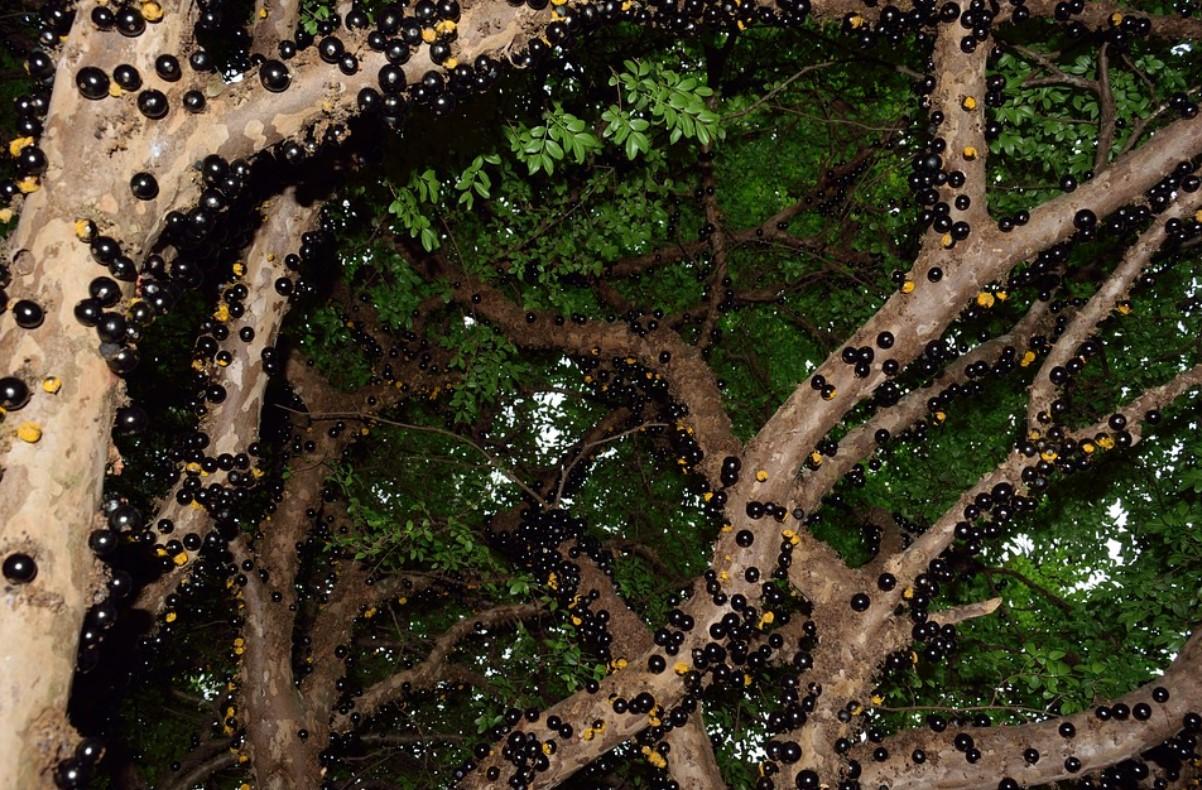 Жаботикаба на деревьях анонс