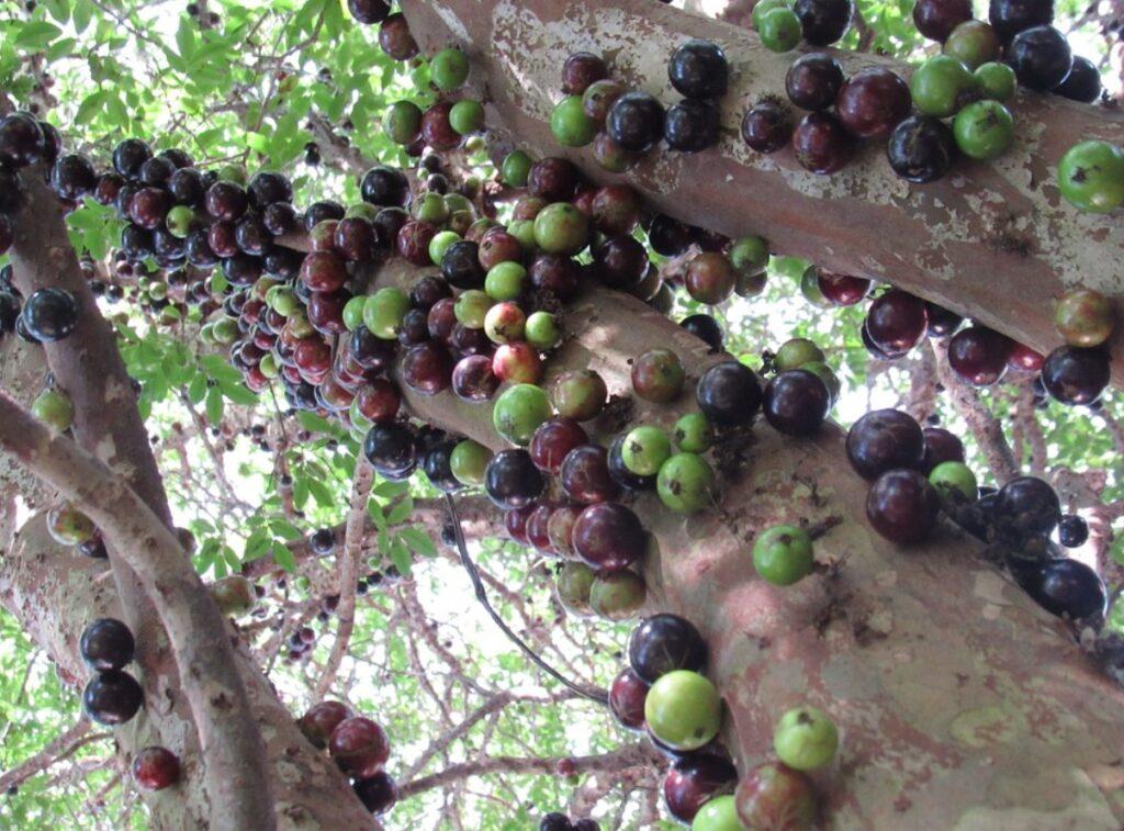 Плоды жаботикаба вокруг ствола