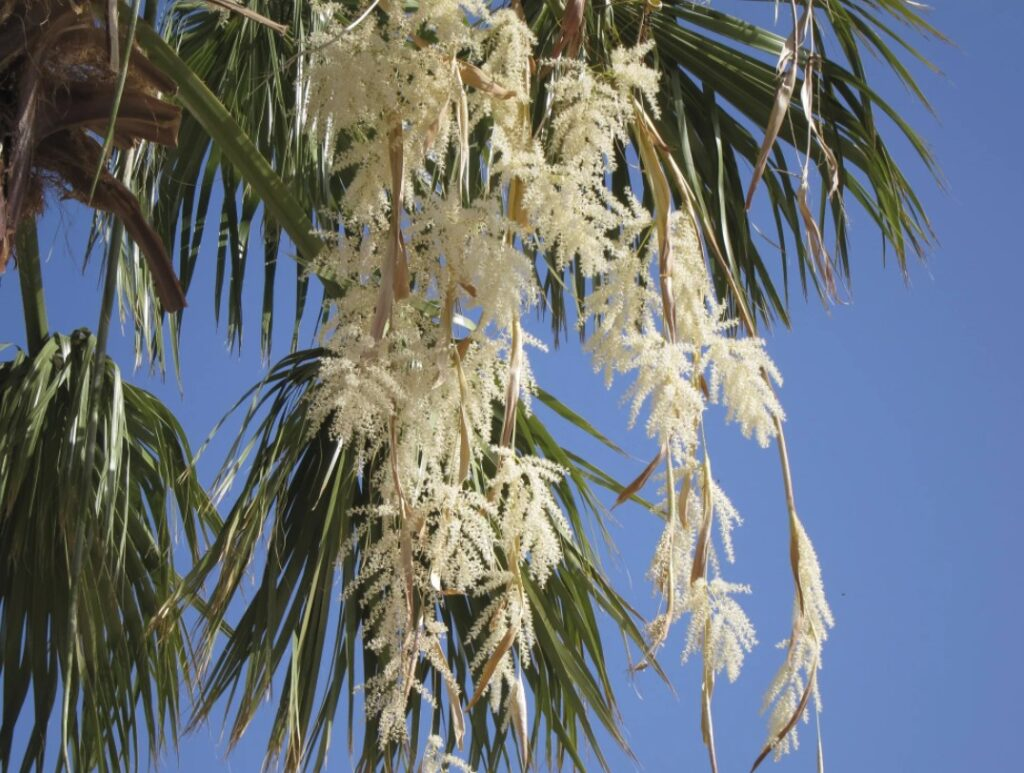 Цветение финиковой пальмы